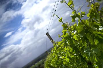 Thunderstorm over the vineyard