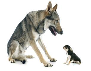 Czechoslovakian Wolfdog and puppy