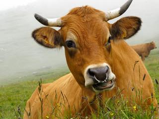 vache tarine dans les alpes