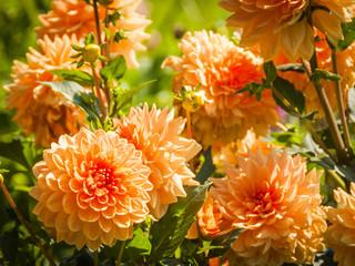 Herbstblume, Herbstfest, Dahlien, Gartenarbeit, Herbst, Schweiz