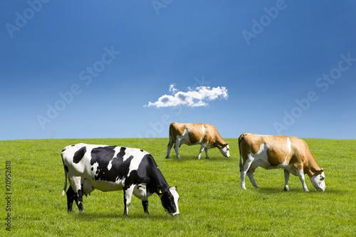 canvas print picture Kühe auf der Weide