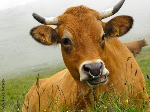Papiers peints Vache vache tarine dans les alpes