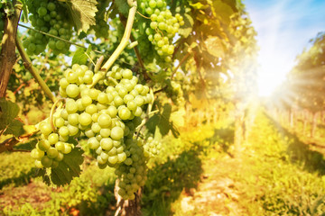 Close up on green grapes in a vineyard with sunshine