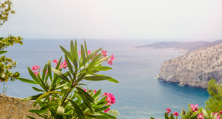 Pink oleander flowers blooming above Thassos island