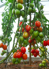Large red sky striker- tomato in greenhouse growing.