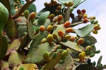 opuntia ficus-indica plant