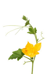 Flowering courgette