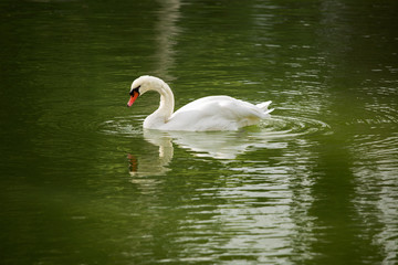 White swan swims on the water