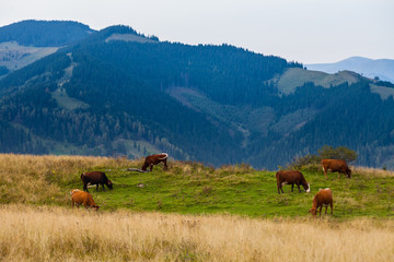 Cows, mountains