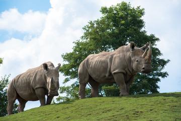Rhinocéros Gris