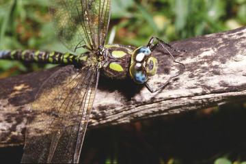 libellula imperatore coldulegaster annulatus parco del frignano