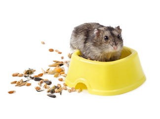 Dwarf hamster in yellow bowl