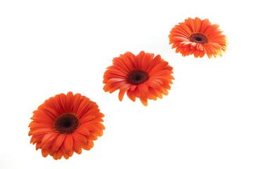 Flower, orange gerbera isolated on white background