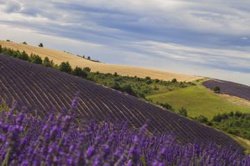 Provence Lavender Field 4