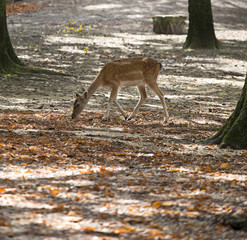 baby deer in a clear forest