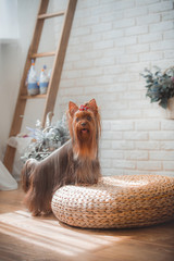 Yorkshire Terrier in the interior