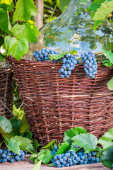 Grapes in a wooden barrel and a wicker basket