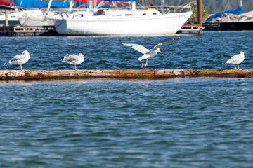 Seagulls on a Log
