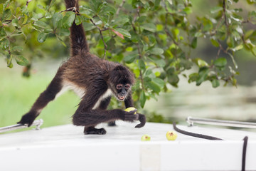 Spider Monkey with Fruit