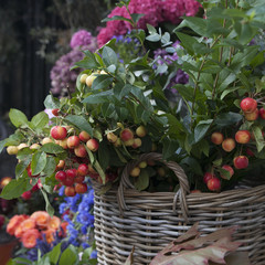 rennet tree in wicker basket. lot red ripe apples on a branch