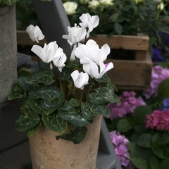 white cyclamens in bowl on barrel as decoration