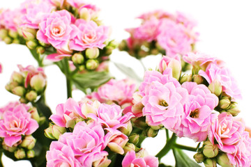 Beautiful pink flowers, close-up