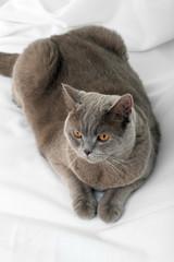 British Short hair cat on light background