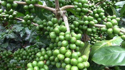 Coffee Plants, Plantations, Farms, Nature