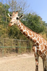 The Giraffe in Thailand Zoo in Vacation trip