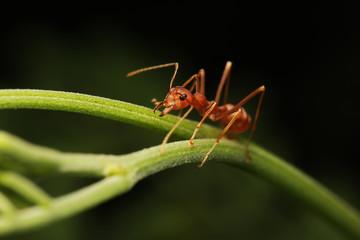 Ant walking on twigs