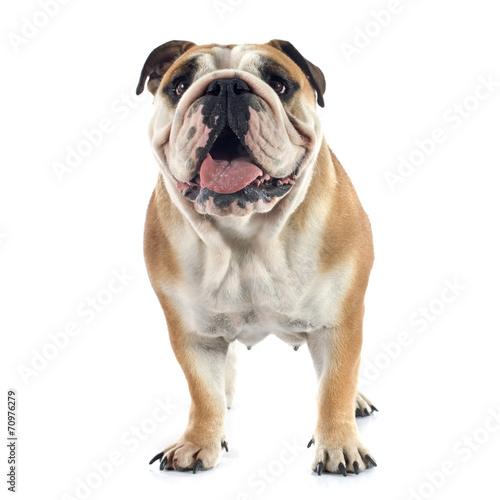 canvas print picture english bulldog