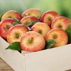 Äpfel in Holzkiste bei der Ernte im Herbst