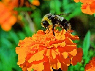 Bee on the tagete flower