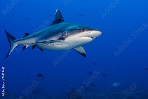 Foto op Canvas Tijger shark attack underwater