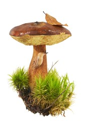 Bay Bolete - Boletus badius in moss