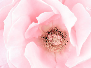 Pale pink rose detail, stamens