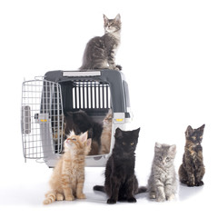 maine coon kitten and kennel