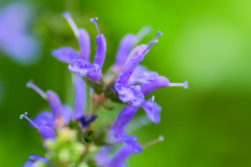 Salvia nemoros, Blue Hill, Labiatae, Europe-Asia center