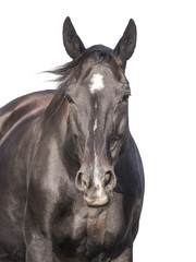 Black horse with  mane of developing, isolated on white