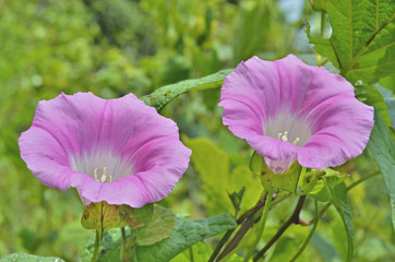 Flowers of bindweed 4
