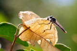 Fototapeta Mosquito of yellow leaf