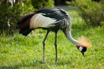 black crowned crane on the green grass