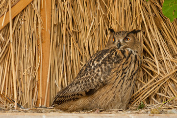 brown owl on the background of straw