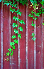 Parthenocissus branch on burgundy wooden fence (vertical image)