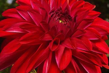 Dark red dahlia close-up as background