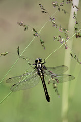 Dragon-fly hanging on grass stem on green background.