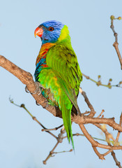 lorikeet from Australia