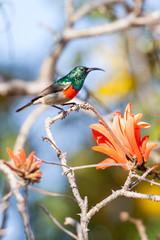 A wild Greater Double-Collared Sunbird next to Coral Tree flower
