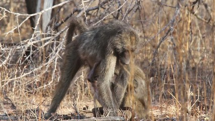 A wild baby Baboon looking for food with it's mother and sibling