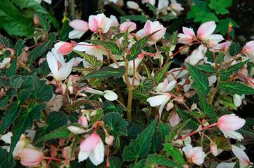 Fiori rosa e bianchi, begonie